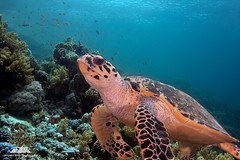 Hawksbill Turtle (InShot Images) Tags: travel nature coral canon underwater redsea egypt diving scubadiving reef coralreef hawksbillturtle marinelife underwaterphotography ikelite jacksonreef stephenennisphotography inshotimages