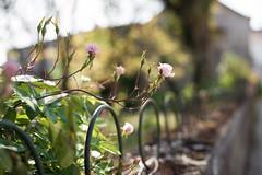 True Love Is Like Little Roses (samuel.rolo) Tags: morning light roses love true fence 50mm nikon bokeh small like 18 d610