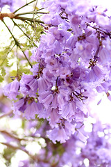 Jacarandas (Mademoiselle Mermaid) Tags: california losangeles purple santamonica jacaranda purpleflowers jacarandas jacarandatree flowerphotography purpletrees jacarandatrees purplefloweringtrees mademoisellemermaid