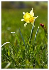 Jonquille du Gerbier des Joncs (armandbrignoli) Tags: jonquille ardeche fleur macro jaune gerbierdesjoncs plante canon 5dsr flower