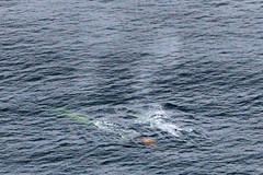 Blue whales and their poop (rocksandstones) Tags: blue bay monterey air poop whales their photograpghy