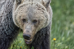 Top of the food chain (Tracey Rennie) Tags: wild kananaskis alberta grizzly roadside dandelions omnivore bear164