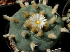 Lophophora diffusa (Croizat) Bravo (Skolnik Collection) Tags: cactus bravo collection lophophora diffusa skolnik croizat
