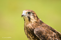 Brown Falcon - So Handsome 710_8242.jpg (Mobile Lynn) Tags: bird oreilly nature birds fauna wildlife ngc australia raptor queensland captive birdsofprey birdofprey coth greatphotographers brownfalcon falcoberigora specanimal coth5 sunrays5