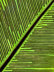 Fern Code (FotoGrazio) Tags: brown plant fern macro green art texture nature closeup composition contrast botanical photography leaf pattern photoshoot fineart diagonal ribs moment photographicart capture botany digitalphotography photoeffect greenandbrown phototoart sandiegophotographer artofphotography flickrelite californiaphotographer internationalphotographers worldphotographer photographersinsandiego fotograzio photographersincalifornia waynegrazio waynesgrazio