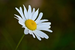 Daisy (htaylor27) Tags: plant ontario canada flower nature resort daisy narrows sioux tomahawk