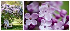 Le temps du lilas (Lilac Days) (Joanne Levesque) Tags: flowers macro collage fleurs spring montreal lilac bloom botanicalgarden printemps adirondackchair lilas jardinbotanique floraison nikond90 fauteuiladirondack