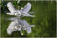 chasing games (Christian Hunold) Tags: bird philadelphia heron egret greategret johnheinznwr silberreiher christianhunold