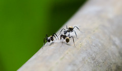 Hormigas (Val Che) Tags: animal three costarica hormigas ant ants tres animales animaux puntarenas bois centralamerica hormiga rois fourmis ojochal americacentral amriquecentrale