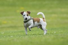 Leo. My friends Jack Russell. (Tanvir.Kawnine) Tags: jackrussell terrier
