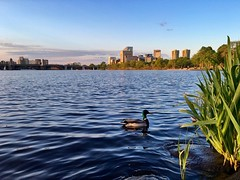 Charles River ((Jessica)) Tags: water boston reeds duck wildlife massachusetts newengland esplanade goldenhour pw