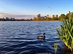Charles River ((Jessica)) Tags: water boston reeds duck wildlife massachusetts newengland esplanade goldenhour pw