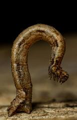 I see no caterpillar.... (markhortonphotography) Tags: macro insect moth surrey caterpillar camouflage stick deepcut surreyheath markhortonphotography thatmacroguy