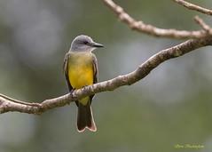 Western Kingbird (sbuckinghamnj) Tags: trinidad flycatcher westernkingbird grandriviere