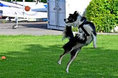 Jeux de balle (Diegojack) Tags: nikon bordercollie chiens morges jeux nikonpassion animalires d7200