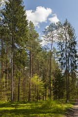 JERZWAŁD_12_5738 (VonMurr) Tags: pine forest spring poland blueberry beech maurycygomulicki jerzwałd