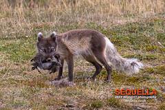 Arctic Fox (Jeff Higgott (Sequella.co.uk) - 2 million views!) Tags: svalbard spitsbergen longyearbyen vulpeslagopus