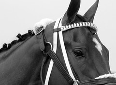 (Chelsea188) Tags: blackeyedsusanday horse racehorse equine athlete thoroughbred animal blackandwhite monochrome eyes head face pimlico race track