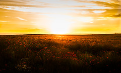 Summer (--Conrad-N--) Tags: sunset panorama field poppies minimalistic mohn