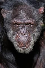 Portrait of a Chimpanzee (greenzowie) Tags: animal june mammal zoo edinburgh chimpanzee edinburghzoo 2016 photographyworkshop greenzowie