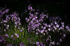 Shooting Stars (Reptilian_Sandwich) Tags: flowers wild green nature field backlight shadows dof purple hiking meadow depthoffield bunch grasses vignette array dodecatheon madviolets forestlight mosquitobills sailorcaps