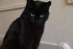 Einmal schwarzer Kater... (a-r-a-55) Tags: animals scotland tiere katze katzen kater schottland grosbritannien