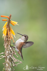 IMG_8425_edit_resized_wm (Lisa Snow Photography) Tags: hummingbird