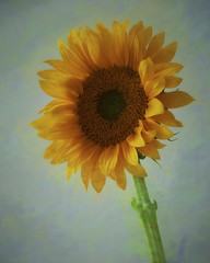 Sunflower Still Life (Denverphotoscapes) Tags: flowers stilllife plants usa plant art yellow colorado denver sunflower angiospermae greenrose floweringplants angiosperms angiosperm vascularplants tracheophyta tracheophytes stilllifeflowerart