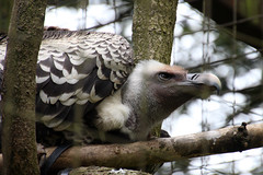 Ruppell's Griffon Vulture (NTG's pictures) Tags: cotswold wildlife park gardens ruppells griffon vulture