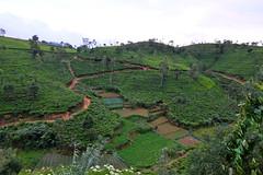 Tea Plantations, Kandy (maddalena monge) Tags: teaplantation liptontea goldentulipstea srilanka ceylon