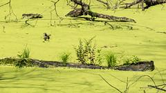 Arche Noah (Sonne 2208) Tags: schwimmen pflanzen grn baumstamm briese entengrtze