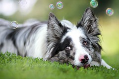 Floey (Martyna Og) Tags: dog dogeyes browneyes bigeyes bluemerle bordercollie poland bubbles summer