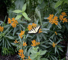 Lunch Time (Flowers Galore) Tags: flowers nature butterfly garden spring butterflyweed asclepiastuberosa butterflyattractant beeattractant orangebutterflyweed perennialbloomer