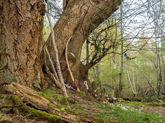 CVPS Hornby 1-3240167.jpg (Nimisha Jimenez) Tags: seagulls clouds waterfall arbutus daffodils hornby vinca treesculpture treetexture fawnlilies cvpsmembers