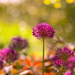 More Alliums :)  (Explore 18/06/2016) (paulapics2) Tags: allium floral flora plant nature garden bokeh blumen bulb canon5d sigma105mm macro colourful purple orange
