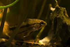 Apistogramma trifasciata (Find The Apex) Tags: fish animals aquarium aquariumfish plantedaquarium apistogramma apistogrammatrifasciata threestripeddwarfcichlid