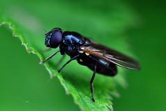 Svartbent rtblomfluga / Southern Black Cheilosia (Cheilosia nigripes) hona (Martin1446) Tags: black macro nature fly nikon natur southern flies makro cheilosia d90 hona nigripes svartbent rtblomfluga