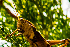 Sauterelle. (Bouhsina Photography) Tags: macro nature canon bokeh details natur 100mm morocco maroc grasshopper couleur ttouan insecte calme sauterelle tetuan visiteur brillant bouhsina 7dii ef7020028ii bouhsinaphotography