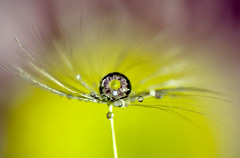 Reflection Love (JCRM6) Tags: water daisy droplet waterdroplet macroflower nikon105mm nikond700