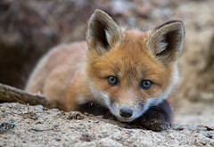 In a playful mood (JD~PHOTOGRAPHY) Tags: wild nature wildlife fox foxes wildanimals younganimals foxkit northamericanwildlife youngfox playfulfox