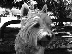 Tula cumple 6 aos . (elena m.d.) Tags: perro tula westi amigodelhombre elenamd