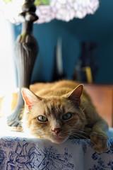 Butterscotch loves Saturdays! (WilliamND4) Tags: pet cat 50mm nikon tabby nikond750
