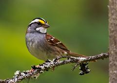 White-Throated Sparrow (Zonotrichia albicollis) 0F3A6429 (Dale Scott.) Tags: whitethroatedsparrow zonotrichiaalbicollis britishcolumbiacanada wellsgrayprovincialpark