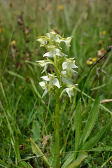 Greater Butterfly Orchid (RobK5) Tags: orchid beautiful stem petal wildflower butterflyorchid ukorchid