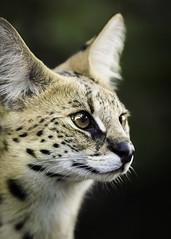 Serval Portrait (Paul E.M.) Tags: africa serval omnivore leptailurus tierboskat