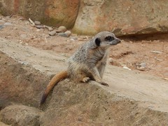 What was that (Sharon B Mott) Tags: nature animal june meerkat yorkshirewildlifepark