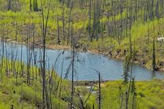 Little Fox Creek Beaver Dam (MIKOFOX  Catching Up!) Tags: canada water landscape spring hawk dam may yukon forestfire spruce beaverdam xt1 foxlakeburn littlefoxlake fujifilmxt1 xf18135mmf3556rlmoiswr mikofox