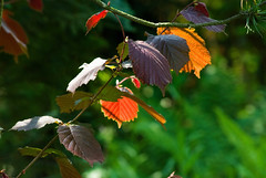 Colors hazel (Hejma (+/- 4500 faves and 1,5milion views)) Tags: orange green leaves outside polish hazel inmygarden kolor