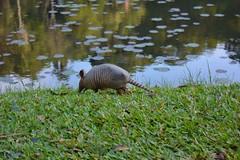 Jardim Botnico - So Paulo (Nayara Cazalini) Tags: park nature lago sopaulo natureza sp jardimbotanico animais tatu parques