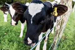 Jemima the friendly calf (leah-nz) Tags: baby field rural cow cattle outdoor farm farming calf